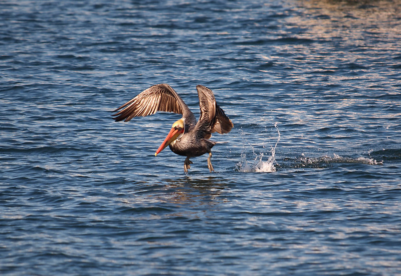 Brown Pelican at Alamitos Bay - 26 Nov 2010