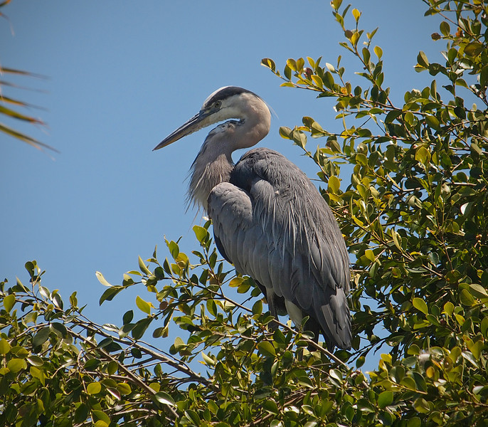 Great Blue Heron roosting at Alamitos Bay - 1 July 2012