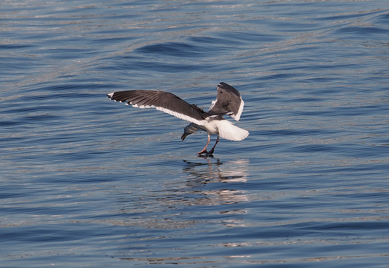 Great Black Backed Gull at Alamitos Bay 12 Dec 2010