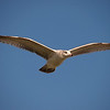 Ring-Billed Gull at Bluff Park 26 Nov 2010