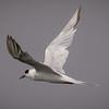 Forster's Tern at Bolsa Chica Reserve - 2 Sept 2013