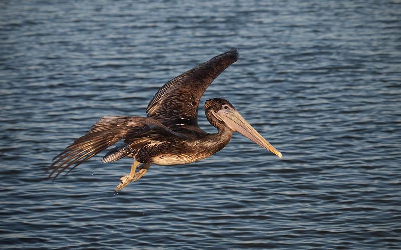 Brown Pelican (juvenile) at Bolsa Chica Reserve - 10 Nov 2012