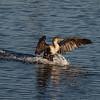 Double Crested Cormorant  Landing at Bolsa Chica Reserve - 26 Nov 2011