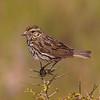 Savannah Sparrow at Bolsa Chica Reserve - 28 May 2011