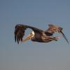Brown Pelican at Bolsa Chica Reserve - 28 Oct 2012