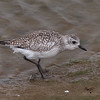 Black-Bellied Plover at Bolsa Chica Reserve - 22 Oct 2011