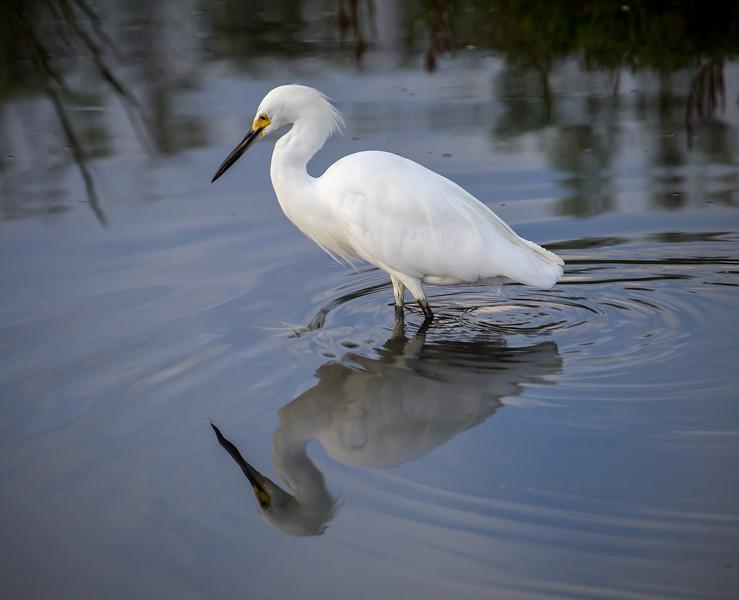 Snowy Egret at Bolsa Chica Reserve - 1 Sept 2013