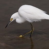 Snowy Egret fishing at Bolsa Chica Reserve - 22 Oct 2011