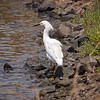 Snowy Egret at Bolsa Chica Reserve - 28 May 2011