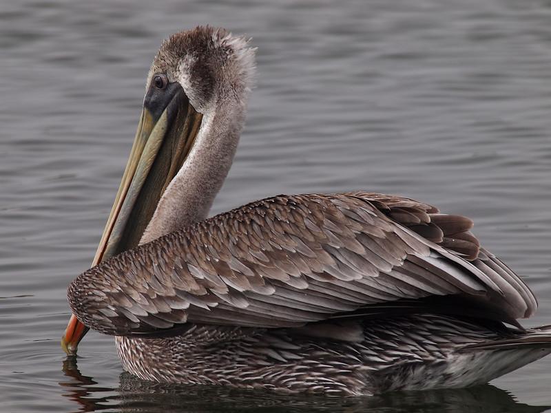 Brown Pelican at Bolsa Chica Reserve - 22 Oct 2011