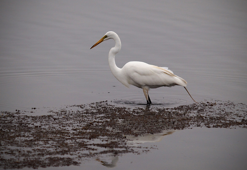 Great Egret at Bolsa Chica Reserve - 4 July 2012