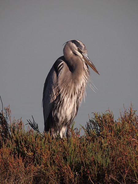 Great Blue Heron at Bolsa Chica Reserve - 27 Oct 2012