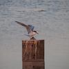 Common Tern at Bolsa Chica Reserve - 13 May 2012