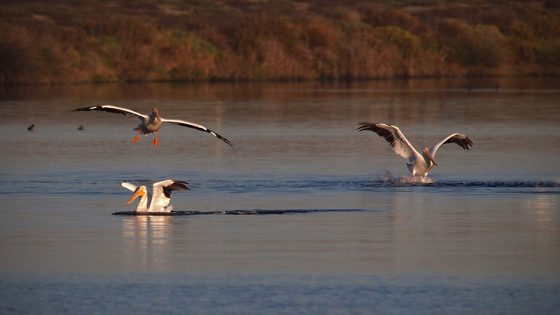 White Pelicans at Bolsa Chica Reserve - 28 Oct 2012