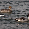 Northern Pintails - 9 Feb 2014