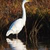 Great Egret at Bolsa Chica Reserve - 10 Nov 2012