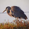 Great Blue Heron at Bolsa Chica Reserve - 28 Oct 2012