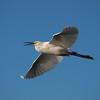 Snowey Egret at Bolsa Chica Reserve - 28 Oct 2012