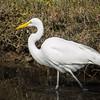 Great Heron - 9 Feb 2014