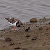 Ruddy Turnstone in action at Bolsa Chica Reserve - 22 Oct 2011