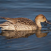 Northern Pintail (female) at Bolsa Chica Reserve - 28 Jan 2012