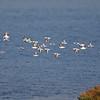 Sanderlings at Bolsa Chica Reserve - 15 Oct 2011