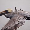 Brown Pelican at Bolsa Chica Reserve - 16 Oct 2011