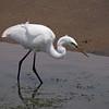 Great Egret at Bolsa Chica Reserve - 12 June 2011