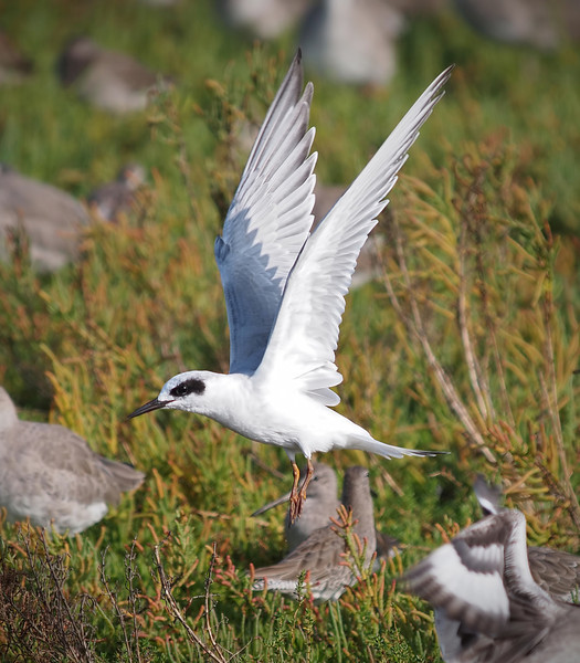 Forster's Tern at Bolsa Chica Reserve - 15 Oct 2011