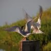 Common Tern at Bolsa Chica Reserve - 28 Apr 2012