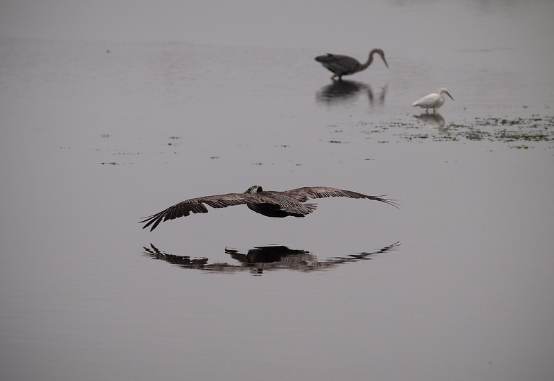 Pelican on patrol at Bolsa Chica Reserve - 4 July 2012