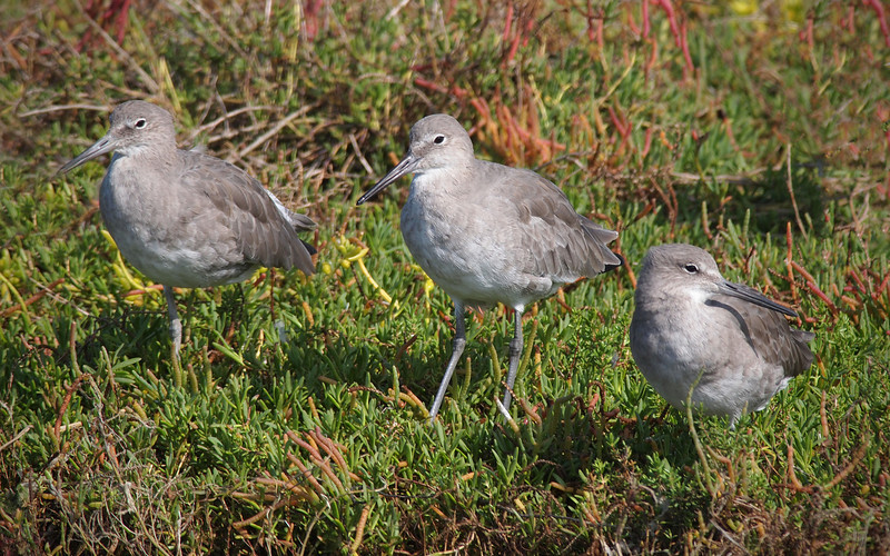 Willets at Bolsa Chica Reserve - 15 Oct 2011