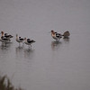 American Avocets at Bolsa Chica Reserve - 25 Feb 2012