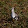 Willett at Bolsa Chica Reserve - 26 Nov 2011