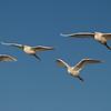 Snowey Egrets at Bolsa Chica Reserve - 28 Oct 2012