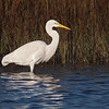 Great Egret at Bolsa Chica Reserve - 27 Oct 2012