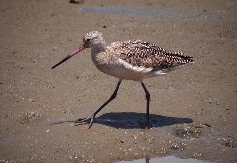 Marbled Godwit at Bolsa Chica Reserve - 12 June 2011