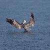 Brown Pelican Landing at Bolsa Chica Reserve - 15 Oct 2011