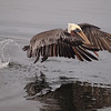 Brown Pelican taking off at Bolsa Chica Reserve - 16 Oct 2011