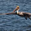 Brown Pelican at Bolsa Chica Reserve - 28 Jan 2012