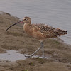 Long-billed Curlew at Bolsa Chica Reserve - 22 Oct 2011
