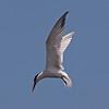 Common Tern at Bolsa Chica Reserve - 28 May 2011