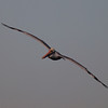 Brown Pelican at Bolsa Chica Reserve - 26 Nov 2011