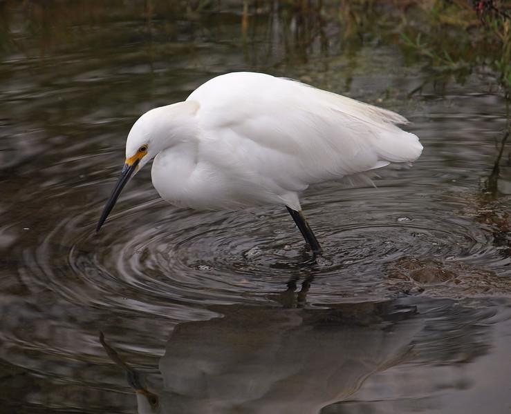 Snowy Egret at Bolsa Chica Reserve - 22 Oct 2011