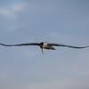Common Tern at Bolsa Chica Reserve - 1 Sept 2013