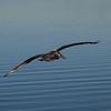 Brown Pelican at Bolsa Chica Reserve - 27 Oct 2012