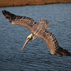 Brown Pelican at Bolsa Chica Reserve - 10 Nov 2012
