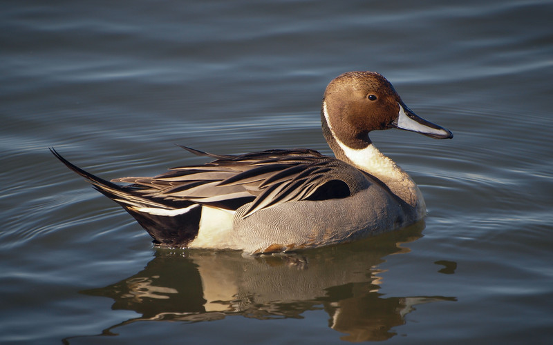 Northern Pintail (male) at Bolsa Chica Reserve - 28 Jan 2012