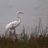 Great Egret at Bolsa Chica Reserve - 16 Oct 2011