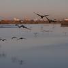 Cormorants Blast Off at Bolsa Chica Reserve - 28 Oct 2012